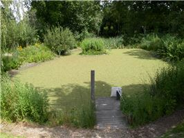 East sussex - waterway clogged with Azolla